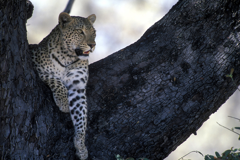 Botswana, Moremi Game Reserve, Adult Leopard (Panthera pardus) rests in tree limbs in dry mopane forest near Xakanaxa