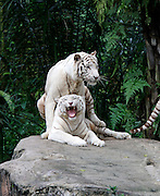 Singapore Zoo. White tigers mating.