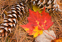 Pine cones and maple leaves White Mountains New hampshire USA