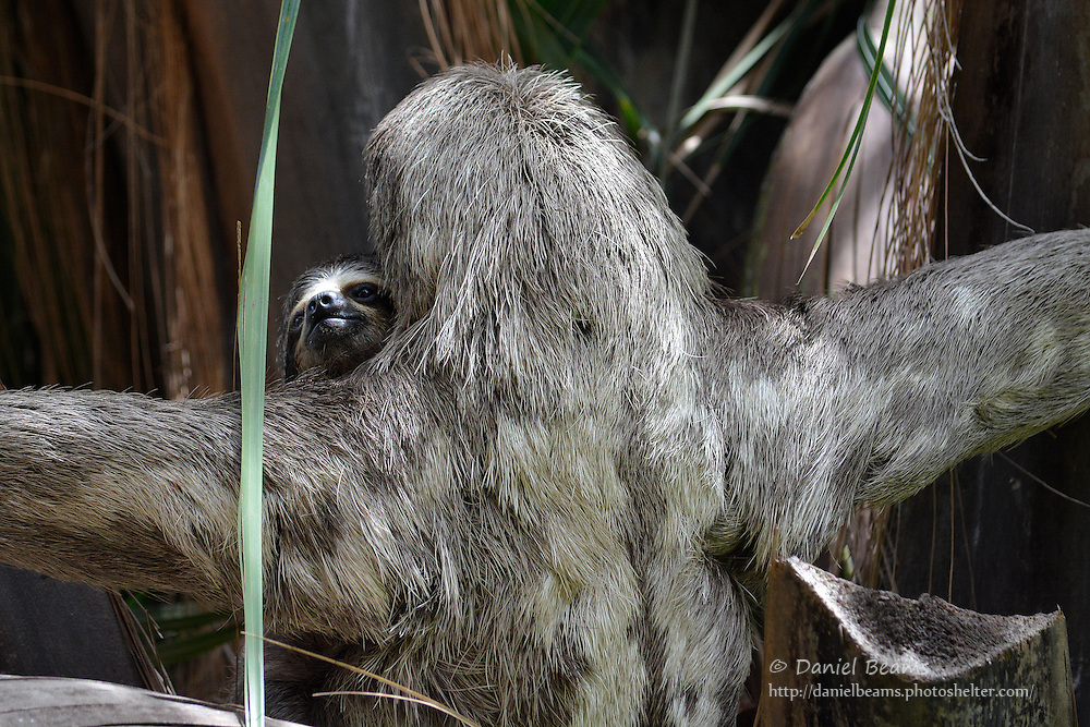 Mother and Baby Sloth in Santa Cruz, Bolivia