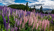 Nonnative Russell lupin flowers bloom in early January 2019 at Lake Tekapo, in the Southern Alps, South Island, New Zealand. The plant's widespread diaspora began with David Douglas bringing the herbaceous lupine (Lupinus polyphyllus) from North America to Britain in the 1820s. In the early 1900s, George Russell, a horticulturist from York, UK, spent two decades breeding the Russell hybrids (Lupinus X russellii hort). First naturalized to New Zealand by local farmers wanting to beautify their landscape in the 1950s, Russell lupins have invaded large areas of roadsides, pastures, and riverbeds. This alien plant most threatens indigenous species in the braided river beds of Canterbury region. Russell lupin is classed as an invasive species in New Zealand, Sweden, Norway, Switzerland, Argentina, the Czech Republic, Finland, Lithuania, and Ukraine. This image was stitched from multiple overlapping photos.