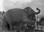 1954 - Pedicure for Komali, baby elephant at Dublin Zoo