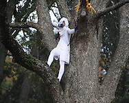 William Elliott looks out from a tree during the Oxford High School Medieval Faire at Oxford High School in Oxford, Miss. on Wednesday, November 14, 2012.