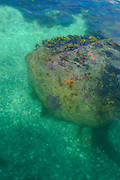 Starfish underwater, Sitka, Alaska