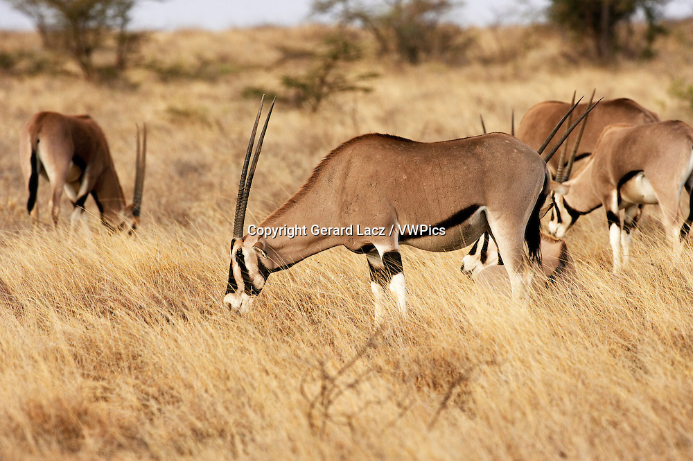Beisa Oryx, oryx beisa, Group standing in Dry Grass, Savannah, Masai Mara Park in Kenya