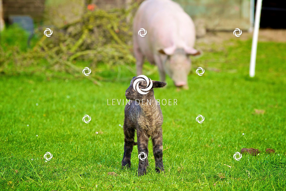 WELL - In het weiland van biologische boerderij Schuttershof loopt het lammetje heerlijk los en te genieten van zijn vrijheid. FOTO LEVIN DEN BOER - PERSFOTO.NU