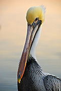 Brown Pelican protrait. A brown pelican poses for a portrait in late evening sun on Vilano Beach, Florida.
