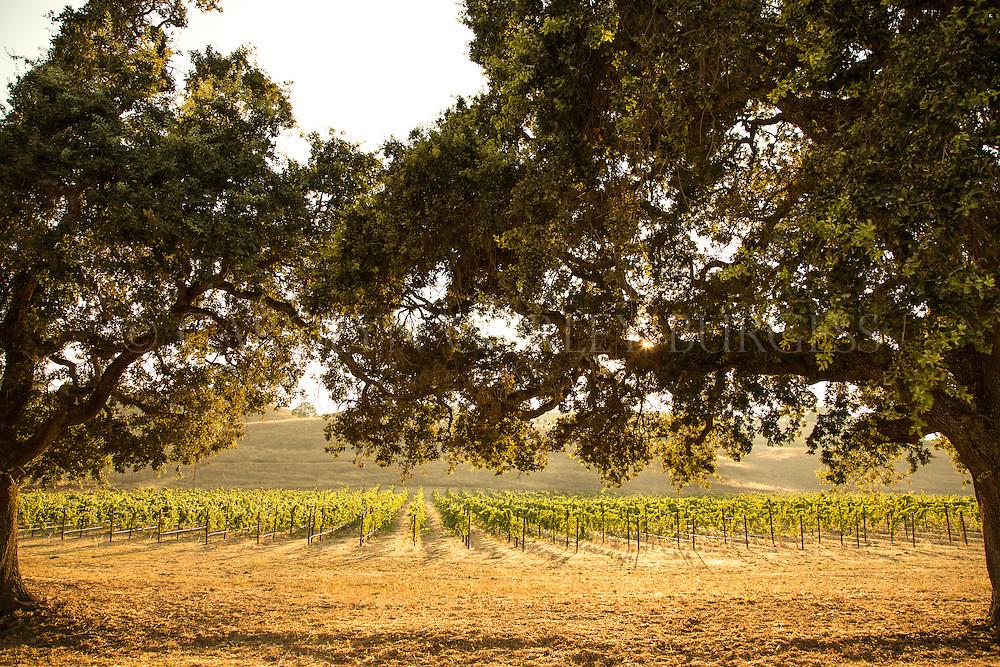Sonoma vineyard through Oak trees