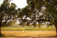 Sonoma vineyard through Oak trees