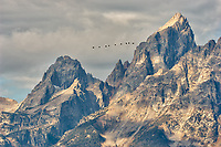 Why are nine large birds flying north past the Grand Tetons in late September? At this distance I can't tell if they are geese, cranes, or swans. My guess is Sandhill Cranes.  Grand Teton National Park. Image taken with a Nikon D2xs and 200-400 mm VR lens (ISO 100, 200 mm, f/8,, 1/180 sec).