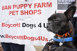 May 5, 2017 - London, UK - London, UK. Jeff, the French bulldog, joins dog lovers gathered outside the Houses of Parliament to call for a ban on pet shops to stop selling puppies and puppy farming. (Credit Image: © Stephen Chung/London News Pictures via ZUMA Wire)