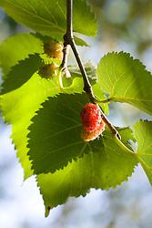 Black mulberry fruit and leaf. Morus nigra