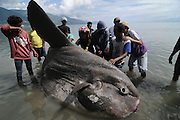 PALU, INDONESIA - APRIL 28:  <br /> <br /> Rare Ocean Sunfish Stranded in Palu, Indonesia<br /> <br /> Palu residents tried to raise Ocean sunfish or Molamola (hypopthalmichtys molitrix) stranded at Taman Ria Teluk Palu coast on April 28, 2015 in Palu, Central Sulawesi, Indonesia. Ocean Sunfish is rare fish weighing approximately 1.5 tons and a length of more than two meters was found by a fisherman in a state still alive and throw him out to sea, but the fish did not move and continued to be dragged to the shore and eventually die. <br /> ©Basri Marzuki/Exclusivepix Media
