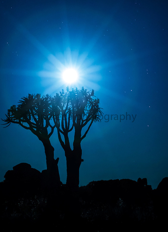 Quiver tree under the full moon