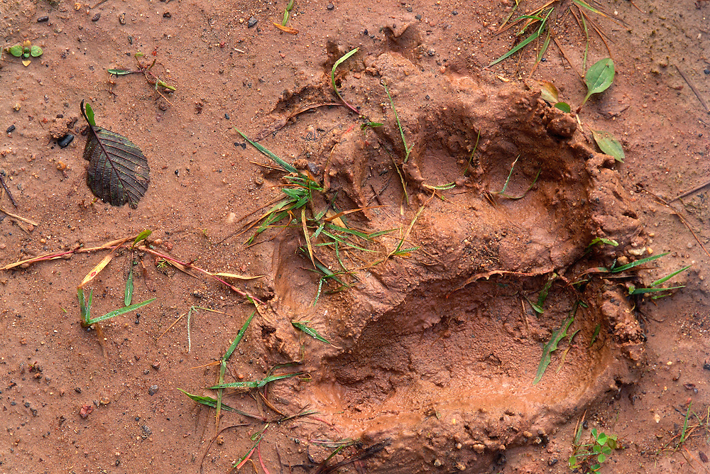 Brown bear, Ursus arctos, track, Sweden