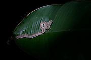 Eyelash viper, Osa Peninsula, Costa Rica.