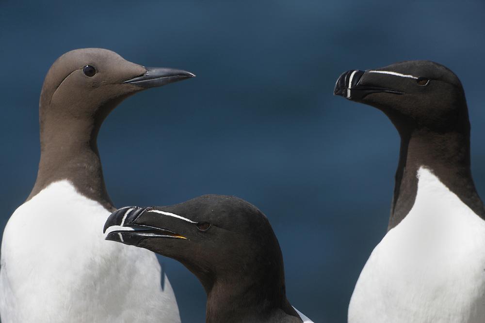 Razorbills ( Alca torda ) and guillemot ( Uria aalge) Ireland Saltee Islands