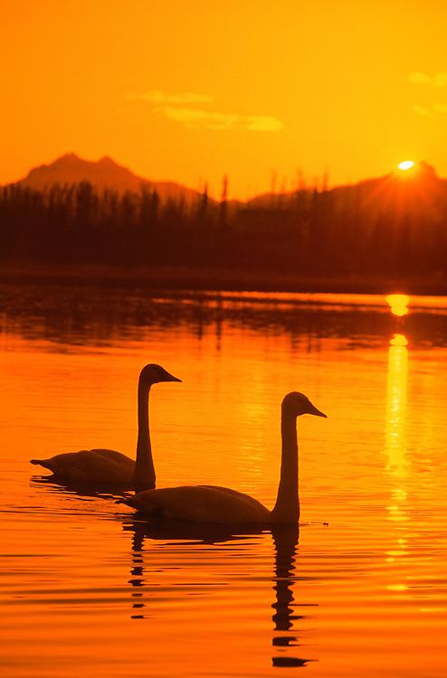 Trumpeter Swan silhouette