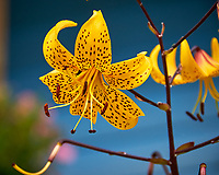 Lily flower in Wrangell. Image taken with a Nikon D300 camera and 70-300 mm VR lens.