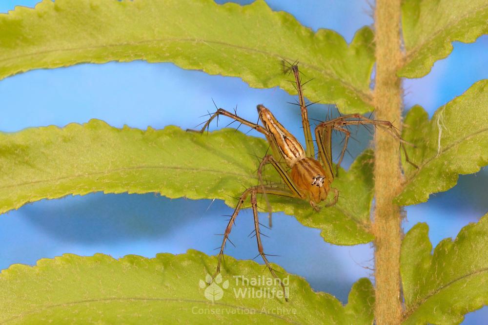 Oxyopes javanus, Lynx spider. Photographed in Chonburi, Thailand.