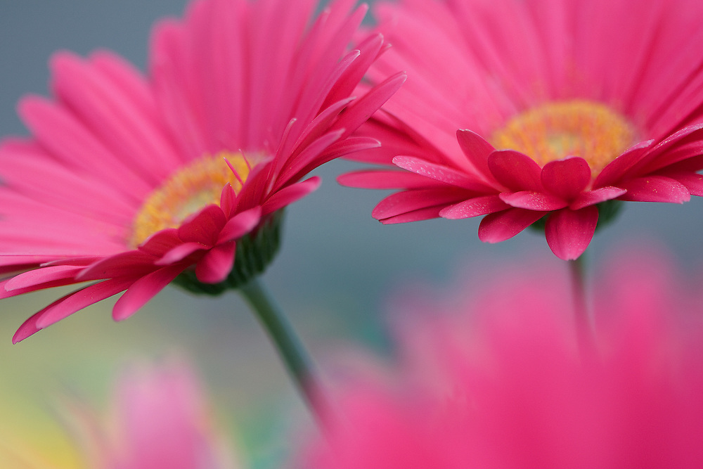 Pink Gerber daisies showcase Spring's vibrant color and beauty.