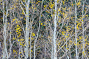 Aspen Leaves, Lee Vining Canyon, Inyo National Forest, California 2014