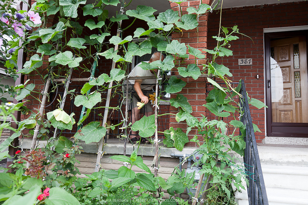 A senior gardener tends to a summer squash vine that rambles along a trellis on the front of his urban house.