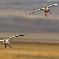 snow geese in flight, landing in grain field, rocky mountain front, montana