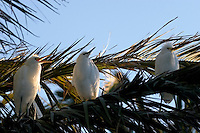 Snowy Egrets (Egretta thula) in Palm Tree, Palo Alto Baylands Preserve, California