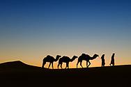 Camel (dromedary) caravan with nomads in the desert at sunrise.