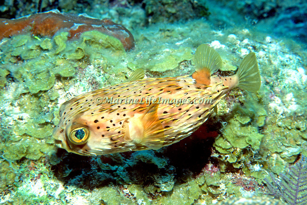 Baloonfish inhabit reefs to seagrass to mangroves, often rest on bottom blending with background in Tropical West Atlantic, also circumtropical; picture taken Turks & Caicos.