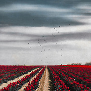 Field of red tulips on a Spring day - texturized photograph<br />