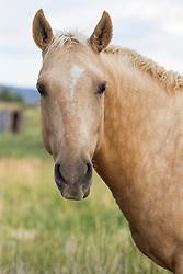 beautiful horse on a ranch looking at camera