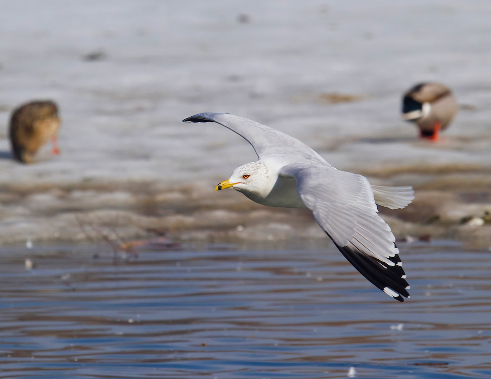 Another ring billed gull flying over the ice in January.