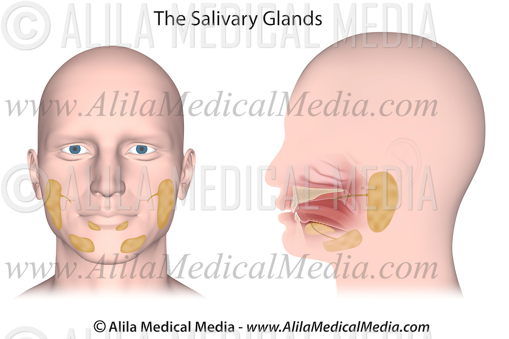 Salivary glands | Alila Medical Images