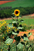 Blooming sunflower plant June 2008