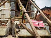 31 JULY 2015 - KATHMANDU, NEPAL: A monkey next to a sign warning of dangers from the earthquake at Swayambhunath, also known as the Monkey Temple. The building the monkey is in front of is propped with timbers. Swayambhunath is a complex of Buddhist and Hindu temples in Kathmandu. It was heavily damaged in the Nepal Earthquake. The Nepal Earthquake on April 25, 2015, (also known as the Gorkha earthquake) killed more than 9,000 people and injured more than 23,000. It had a magnitude of 7.8. The epicenter was east of the district of Lamjung, and its hypocenter was at a depth of approximately 15 km (9.3 mi). It was the worst natural disaster to strike Nepal since the 1934 Nepal–Bihar earthquake. The earthquake triggered an avalanche on Mount Everest, killing at least 19. The earthquake also set off an avalanche in the Langtang valley, where 250 people were reported missing. Hundreds of thousands of people were made homeless with entire villages flattened across many districts of the country. Centuries-old buildings were destroyed at UNESCO World Heritage sites in the Kathmandu Valley, including some at the Kathmandu Durbar Square, the Patan Durbar Squar, the Bhaktapur Durbar Square, the Changu Narayan Temple and the Swayambhunath Stupa. Geophysicists and other experts had warned for decades that Nepal was vulnerable to a deadly earthquake, particularly because of its geology, urbanization, and architecture.        PHOTO BY JACK KURTZ