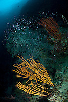 The strong currents in the Misool area create perfect conditions for filter feeders such as soft corals, sea fans and sponges and on most areas, the rocky substrate is literally carpeted in life.  The reefs of Raja Ampat are some of the most diverse and healthiest in the world.