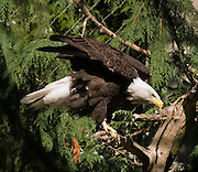 The Bald Eagle (Haliaeetus leucocephalus) is a bird of prey found in North America, most recognizable as the national bird and symbol of the United States of America. This sea eagle has two known sub-species. Its range includes most of Canada and Alaska, all of the contiguous United States and northern Mexico. It is found near large bodies of open water with an abundant food supply and old-growth trees for nesting. Photographed in the Woodland Park Zoo, Seattle, Washington, USA.