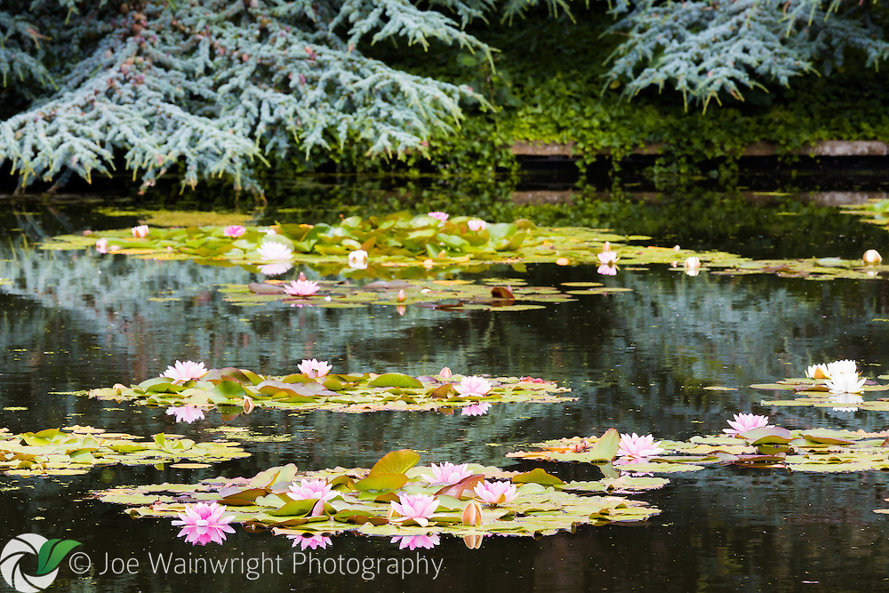 Water lilies in flower on the Lily terrace at Bodnant Gardens, North Wales.