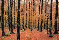 France, Languedoc Rousillon, Gard, Lozère, forêt de hêtres, Mont Aigoual