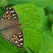 Common Buckeye (Junonia coenia) Butterfly.