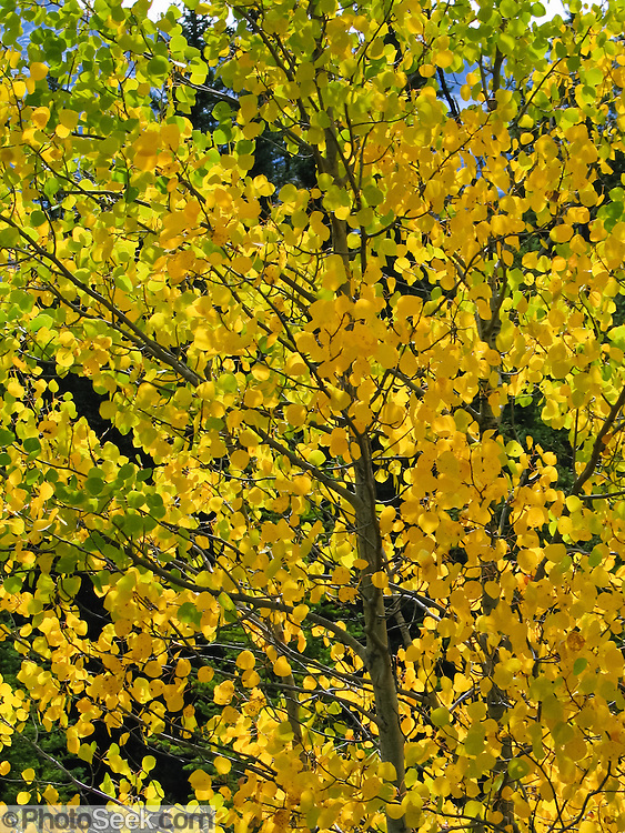 Aspen leaves turn gold in autumn along the Icefields Parkway in Banff National Park, Alberta, Canada. This is part of the Canadian Rocky Mountain Parks World Heritage Site declared by UNESCO in 1984.