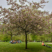 A cherry blossom tree at St James park on 23 April 2019, London, UK.
