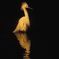 Snowy egret. Ding Darling National Wildlife Refuge, Florida.