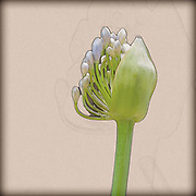Digitally enhanced image of a Blue African lily (Agapanthus) flowers in a garden.