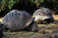 Galapagos<br /> Tortoises - Ecuador