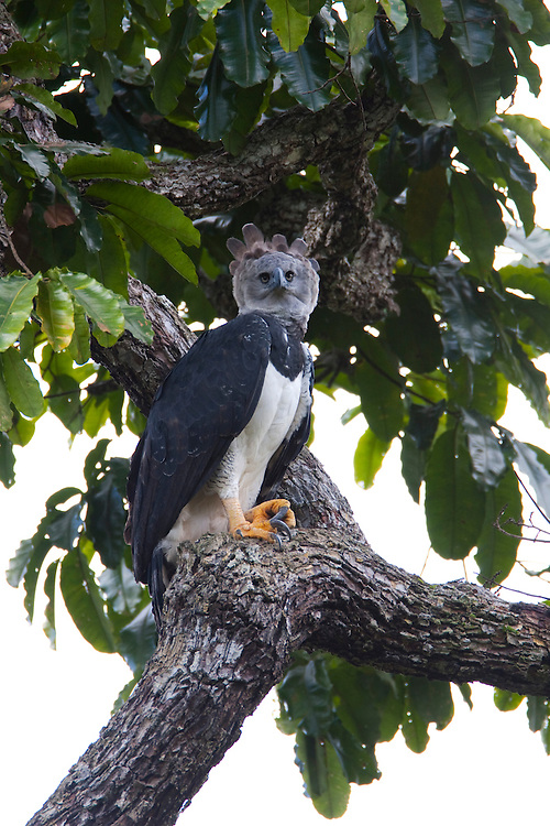 Parauapebas_PA, Brasil...Floresta Nacional de Carajas. Harpia (Harpya harpyja) em castanheira (Bertholletia excelsa) na floresta amazonica...The Carajas National Forest. The Harpy Eagle (Harpia harpyja) on the Brazil nut (Bertholletia excelsa) in Amazon rain forest...Foto: JOAO MARCOS ROSA / NITRO