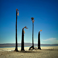 Four burnt palm trees beneath a blue sky with mountains in the distance