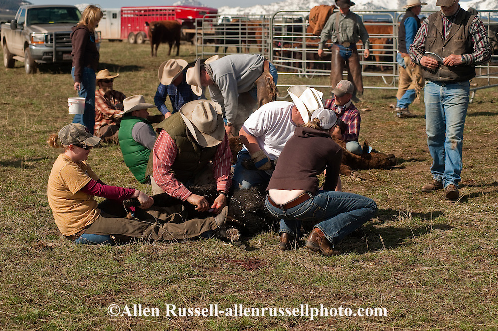 Cowgirl wrestles calf at branding as it is castrated, Wilsall, Montana